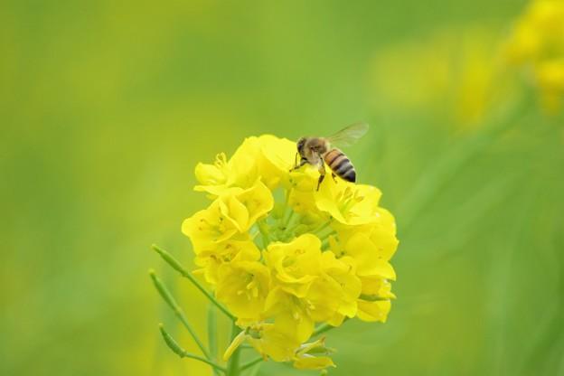 写真: ミツバチのミッチ