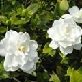 写真: 咲きました a