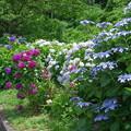写真: 紫陽花ロードb