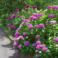 紫陽花ロードc