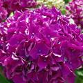 写真: 紫陽花 イ