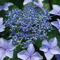 写真: 紫陽花 ウ