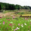 写真: 棚田にコスモス