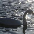 写真: 白鳥-3
