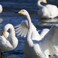写真: 白鳥-2
