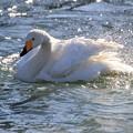 写真: 白鳥-1