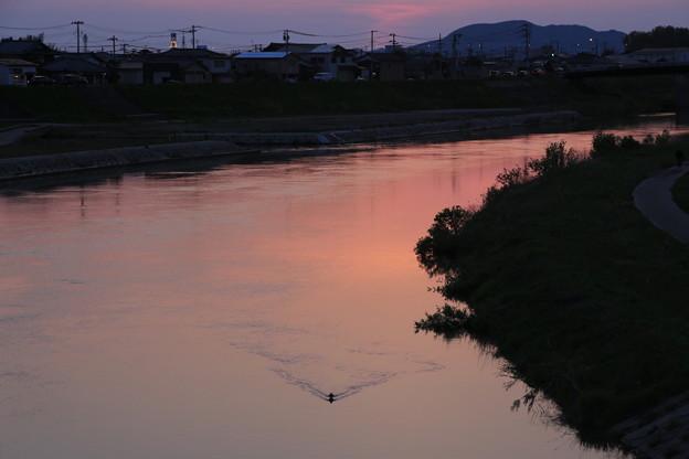 写真: 夕日に映るカモ