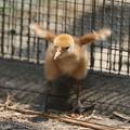 私の野鳥図鑑(蔵出し)・160521-BQ2A2136孵った日のタンチョウ