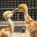 写真: 私の野鳥図鑑(蔵出し)・160524-BQ2A4301タンチョウの二羽の幼鳥