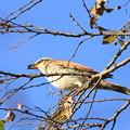 写真: 私の野鳥図鑑(蔵出し)・091208ムクの実を食べるツグミ