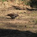 写真: 私の野鳥図鑑(蔵出し)・100327ツグミ