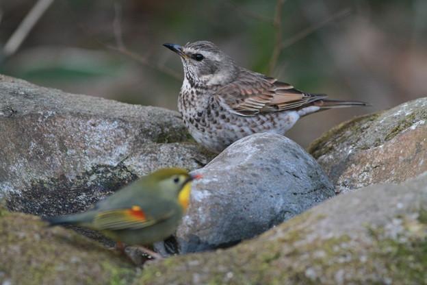 Photos: 私の野鳥図鑑(蔵出し)・110121ツグミとソウシチョウ