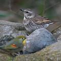 写真: 私の野鳥図鑑(蔵出し)・110121ツグミとソウシチョウ
