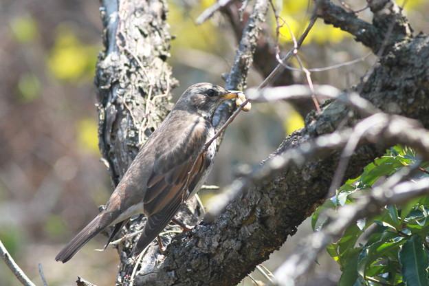 写真: 私の野鳥図鑑(蔵出し)・110331-IMG_7540虫を捕ったツグミ
