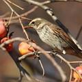 写真: 私の野鳥図鑑(蔵出し)・121213-IMG_1918柿を食べるツグミ