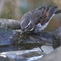 写真: 私の野鳥図鑑(蔵出し)・150103水を飲むツグミ