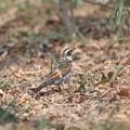 写真: 私の野鳥図鑑(蔵出し)・160304背中に白い羽があるツグミ