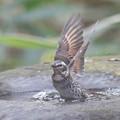 私の野鳥図鑑(蔵出し)・161219ツグミの水浴び