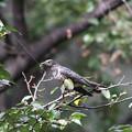 私の野鳥図鑑(蔵出し)・081012ツツドリ