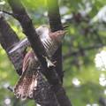 私の野鳥図鑑(蔵出し)・100912-IMG_9020赤色型ツツドリ