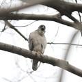 写真: 私の野鳥図鑑(蔵出し)・120307-IMG_4909ツミのあくび