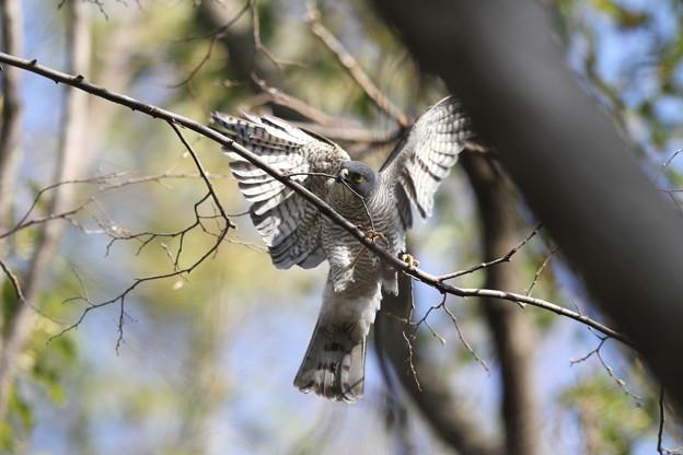 写真: 私の野鳥図鑑(蔵出し)・120408ツミの巣作り・枝折り