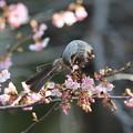180224-5河津桜の蜜を吸うヒヨドリ