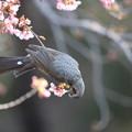 180224-6河津桜の蜜を吸うヒヨドリ