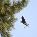 写真: 私の野鳥図鑑(蔵出し)・120410ツミの巣作り・巣材運搬
