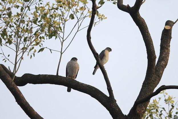 私の野鳥図鑑(蔵出し)・120416ツミ♂(右)と♀(左)