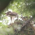 写真: 私の野鳥図鑑(蔵出し)・120705ツミの子育て・給餌