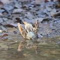 180315-4アオジ♂の水浴び