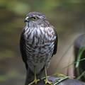 写真: 私の野鳥図鑑(蔵出し)・161115ツミ♀