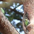 写真: 180318-6ホンセイインコの巣?