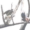 私の野鳥図鑑(蔵出し)・161121-BQ2A3377ツミとカケスのバトル(2/2)