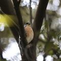 私の野鳥図鑑(蔵出し)・161128-BQ2A5006胸が赤いツミ♂