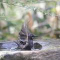 写真: 180327-3ヒヨドリの水浴び