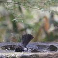 180327-4ヒヨドリの水浴び
