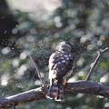 私の野鳥図鑑(蔵出し)・170104ツミ♀の水浴びが終わって