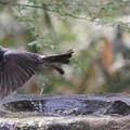 写真: 180327-6ヒヨドリの水浴び