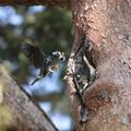 写真: 180329-1ムクドリの巣材運び(1/3)