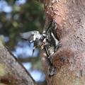 写真: 180329-2ムクドリの巣材運び(2/3)