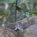 写真: 180331-2ヒヨドリの水浴び
