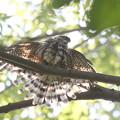 写真: 私の野鳥図鑑(蔵出し)・171001-12水浴び後の羽を乾かすツミ♀