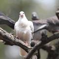 写真: 私の野鳥図鑑(蔵出し)・120328真っ白なドバト