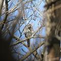 私の野鳥図鑑(蔵出し)・120303痒い痒い・ハイタカ