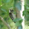 180504-17雛への餌を集めているコゲラ