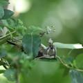 180504-18雛への餌をくわえているコゲラ