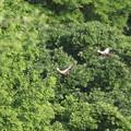 写真: 180511-1緑を飛ぶ・カルガモ