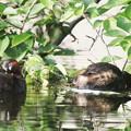 写真: 180511-2雌は交尾を待つが雄は知らん顔・カイツブリ